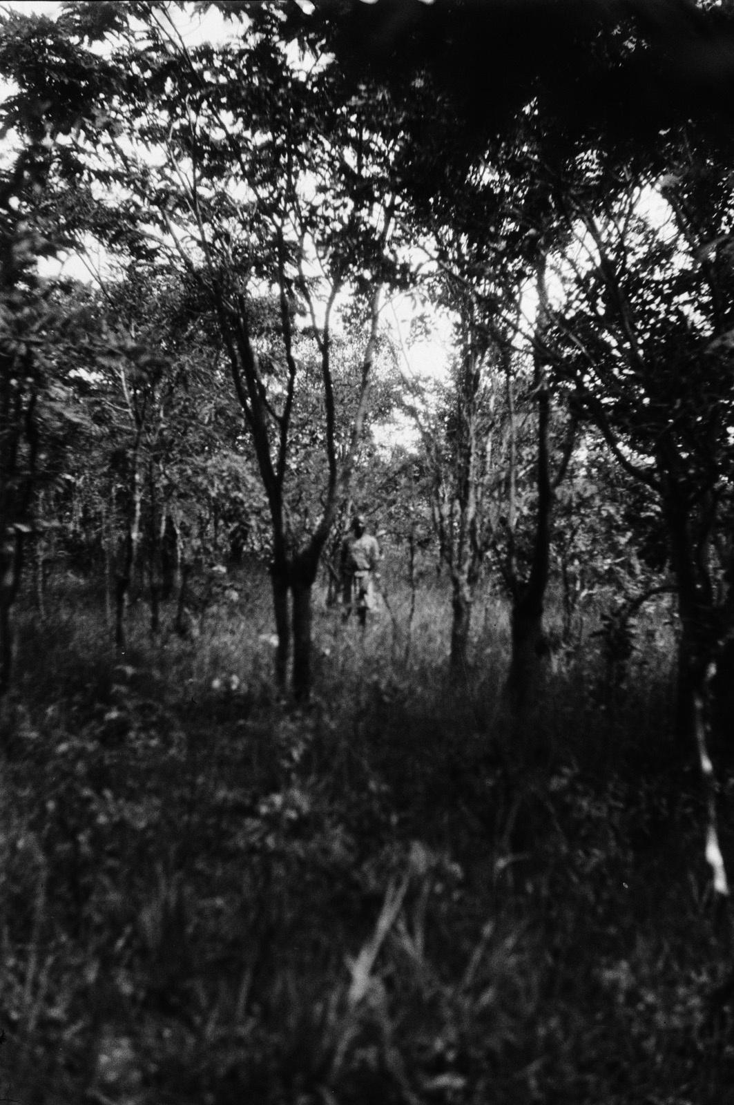 Между Капири Мпоши и рекой Лунсемфва. Ранее прореженный лес. На высоте груди все стволы деревьев раздвоены