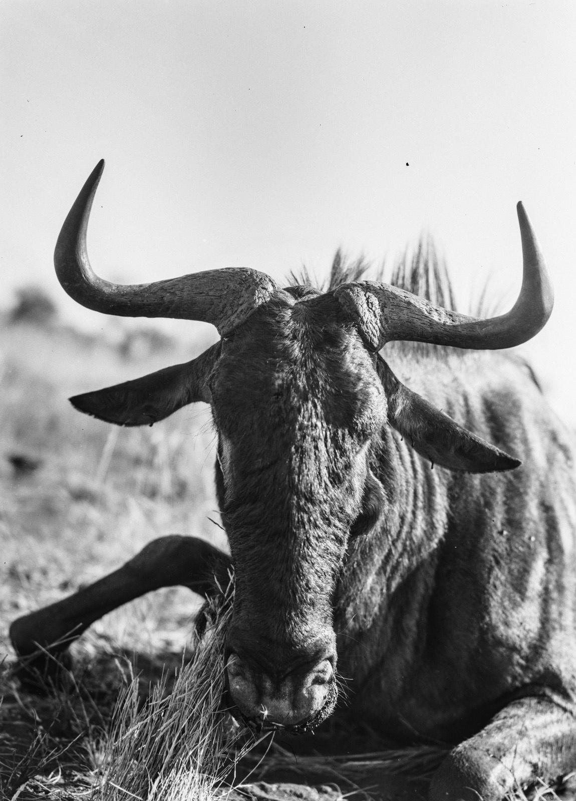 Бечуаналенд. Убитая антилопа гну