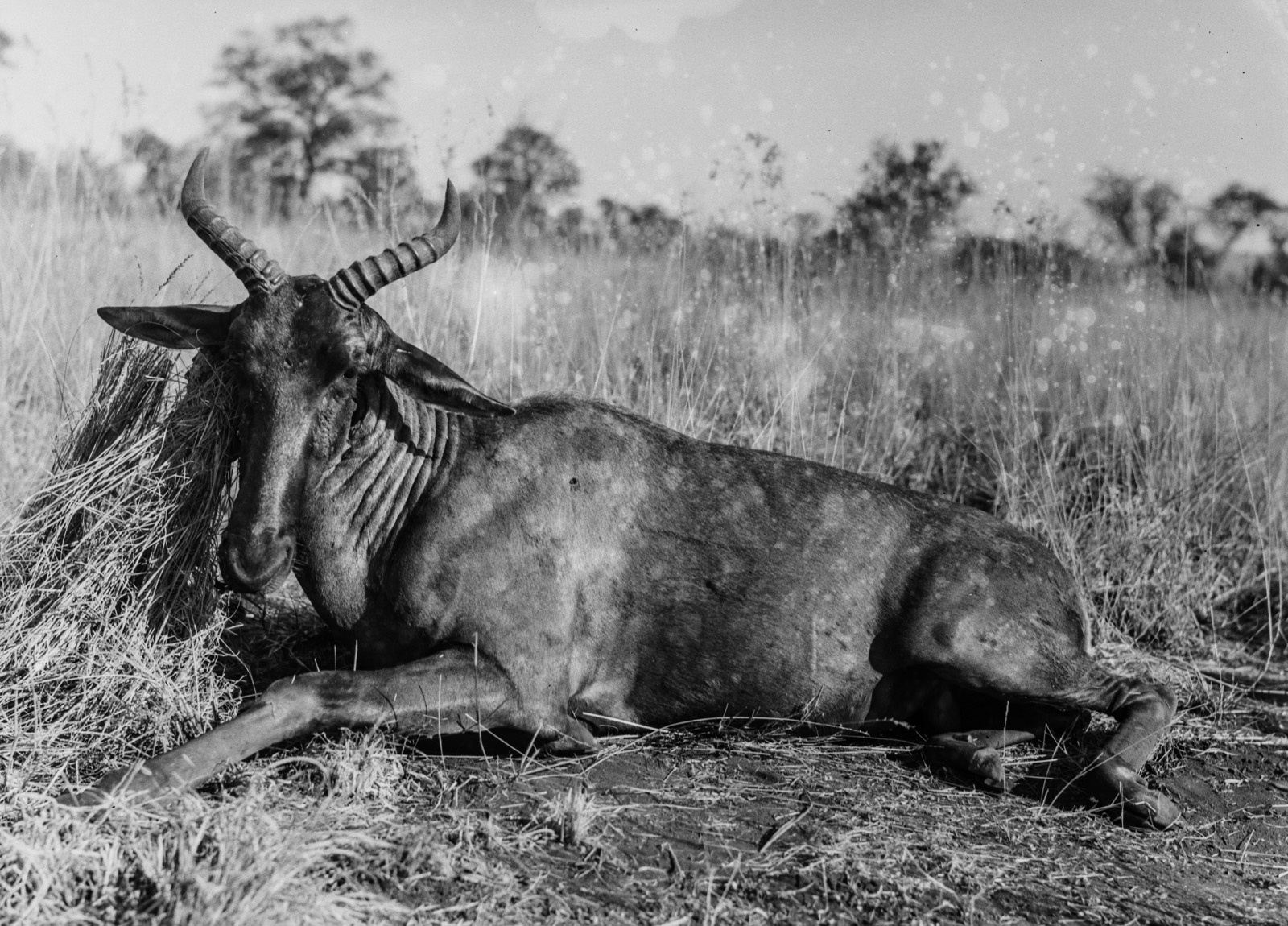 Бечуаналенд. Убитая антилопа цессеби