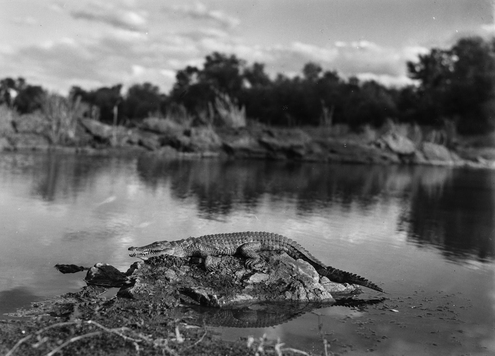 Бечуаналенд. Убитый крокодил на Лимпопо