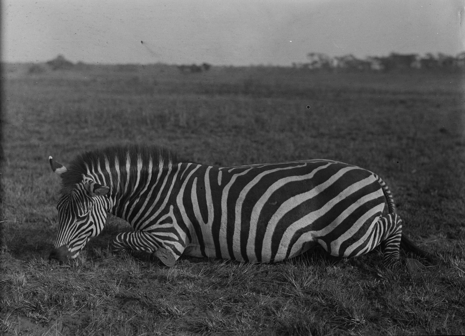 Касемпа. Мертвая зебра в дамбо