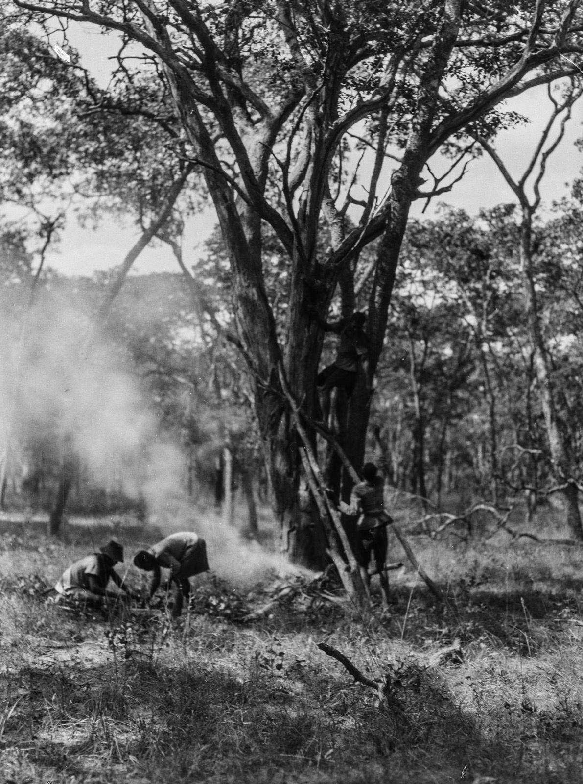 Касемпа. Мужчины народности кальвео пытаются опустошить гнездо диких пчел