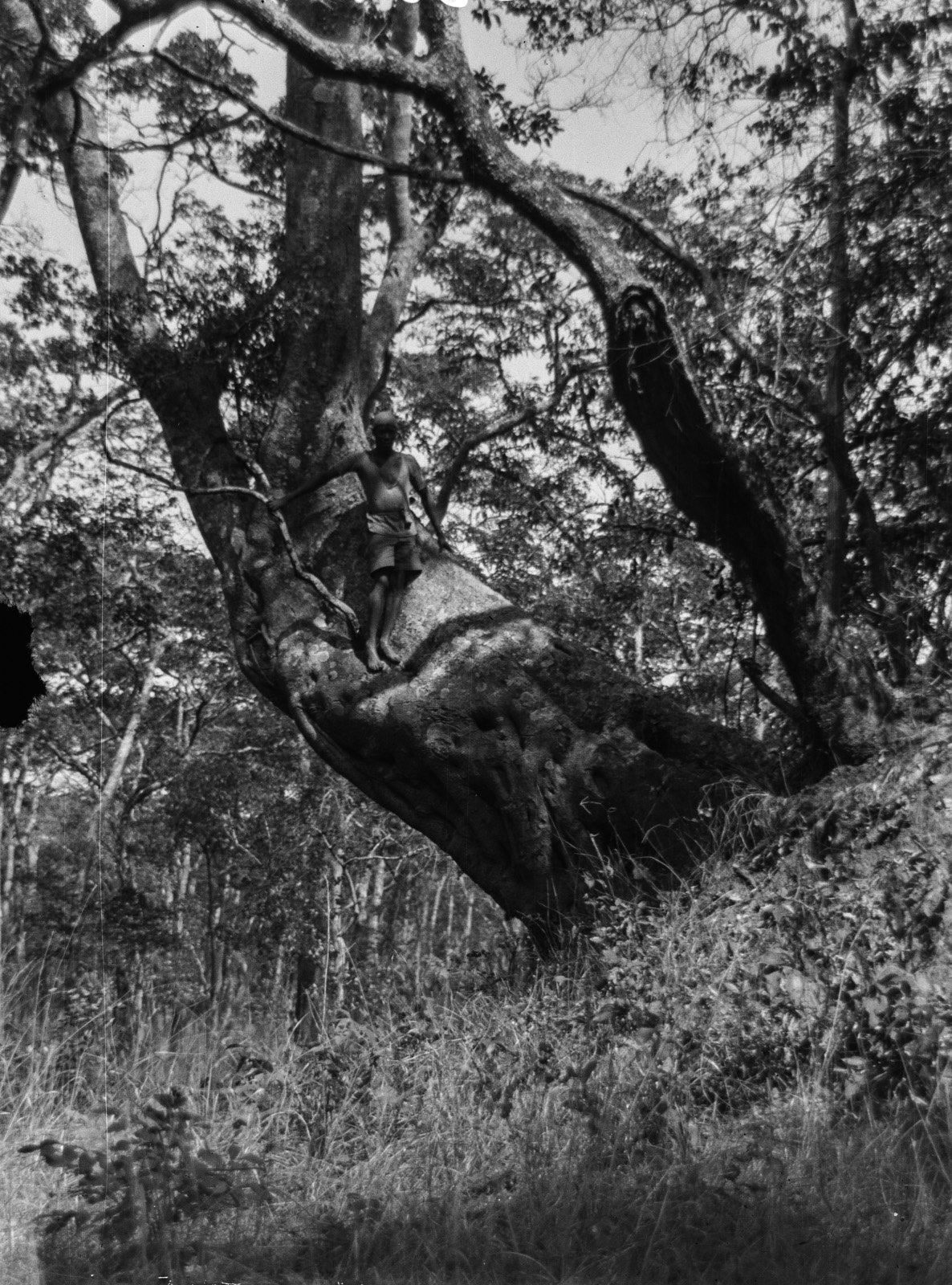 Касемпа. Дерево на термитовом холме