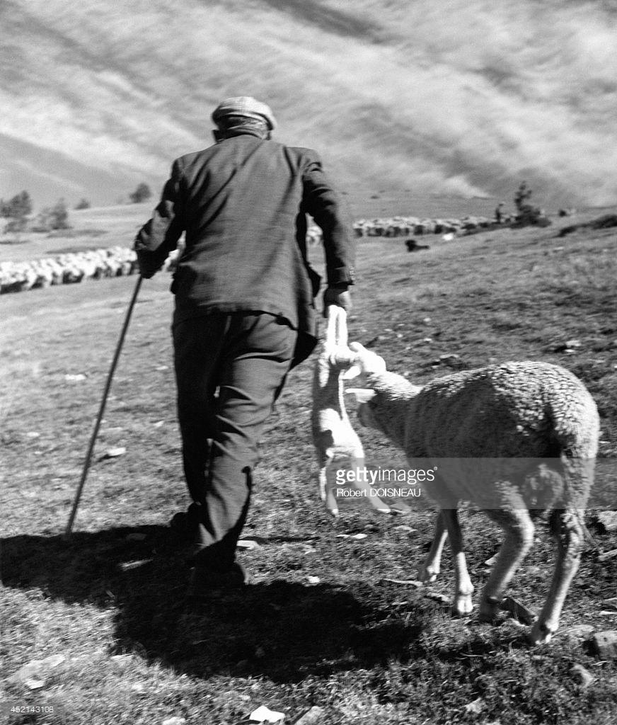 1955. Пастух и новорожденный ягненок во время перегона