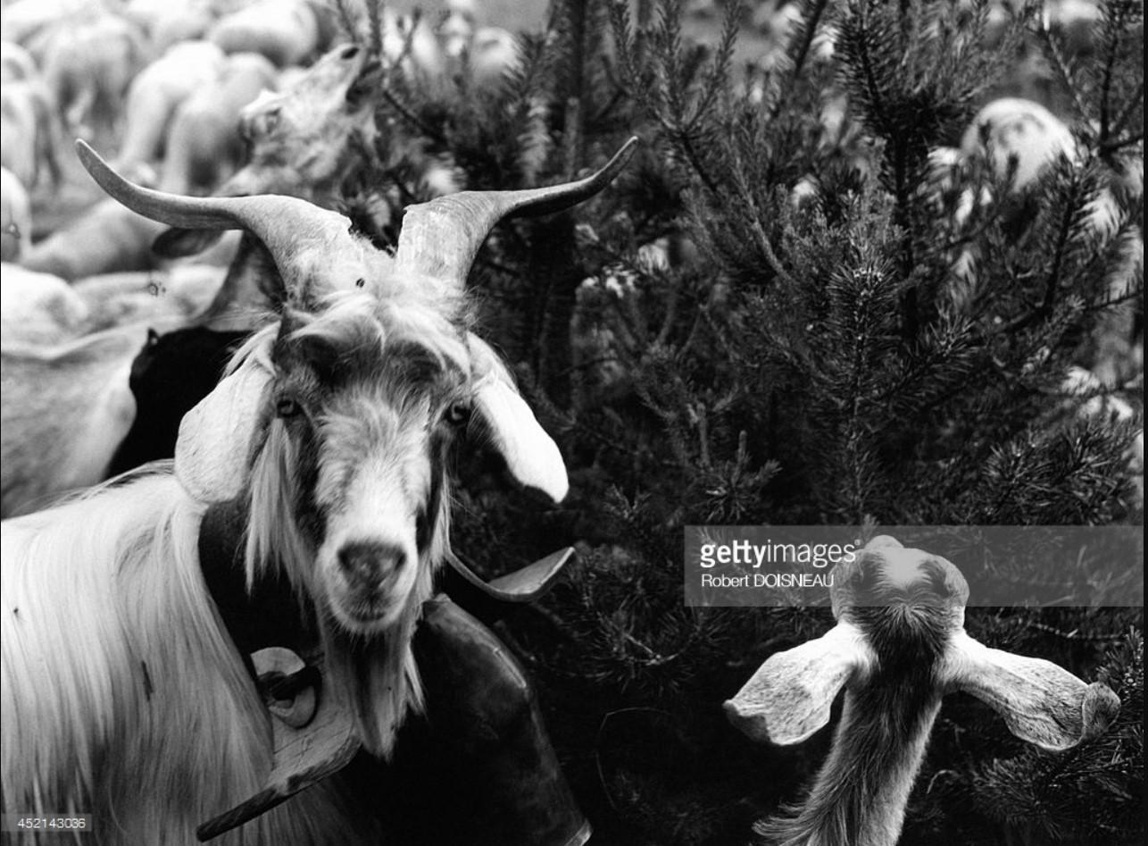 1958. Козел в стаде овец во время перегона