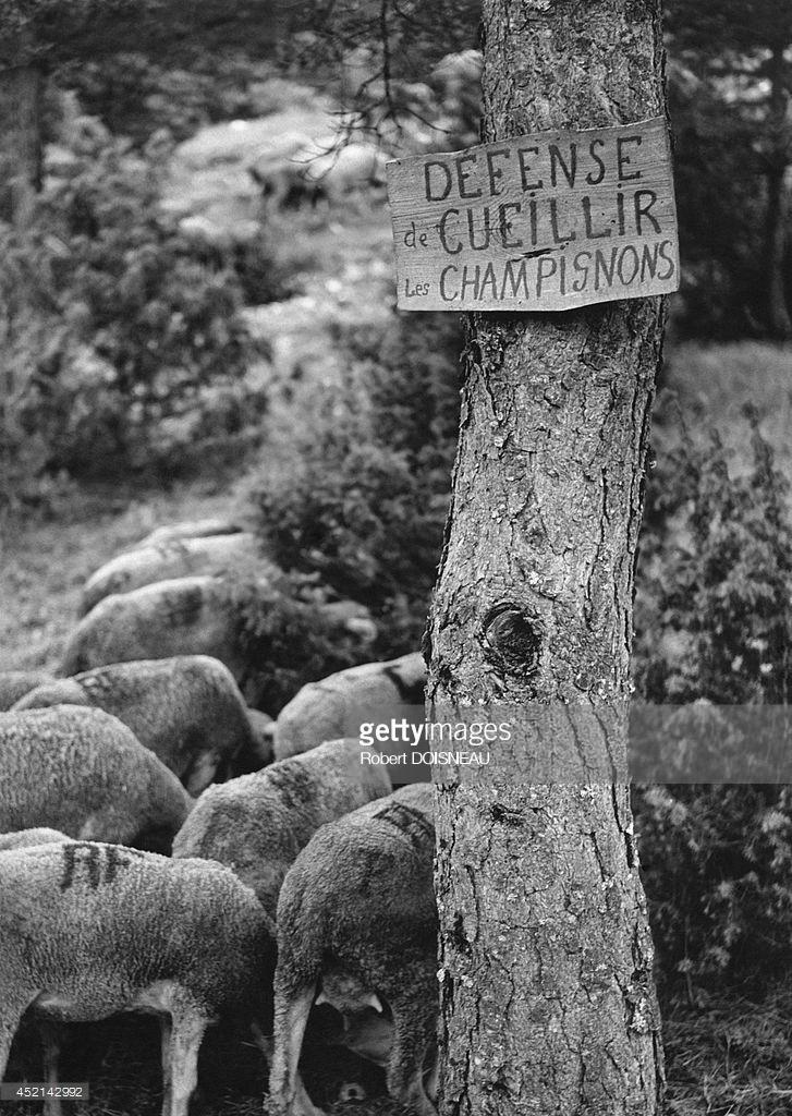 1958. Объявление о запрете сбора шампиньонов у входа в лес