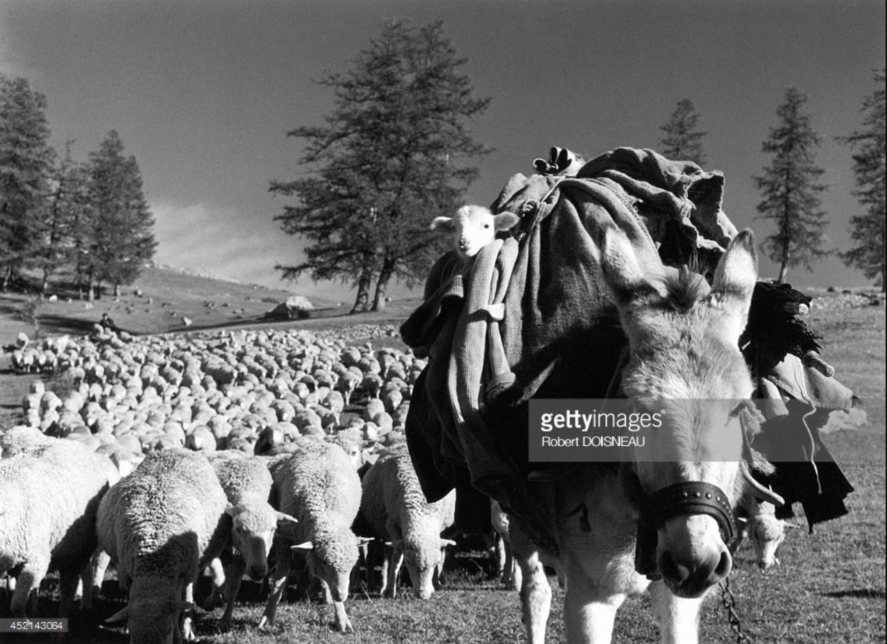 1958. Маленький ягненок верхом на осле, за которым следует стадо овец во время перегона скота