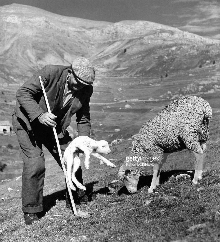 1958. Пастух и новорожденный ягненок во время перегона