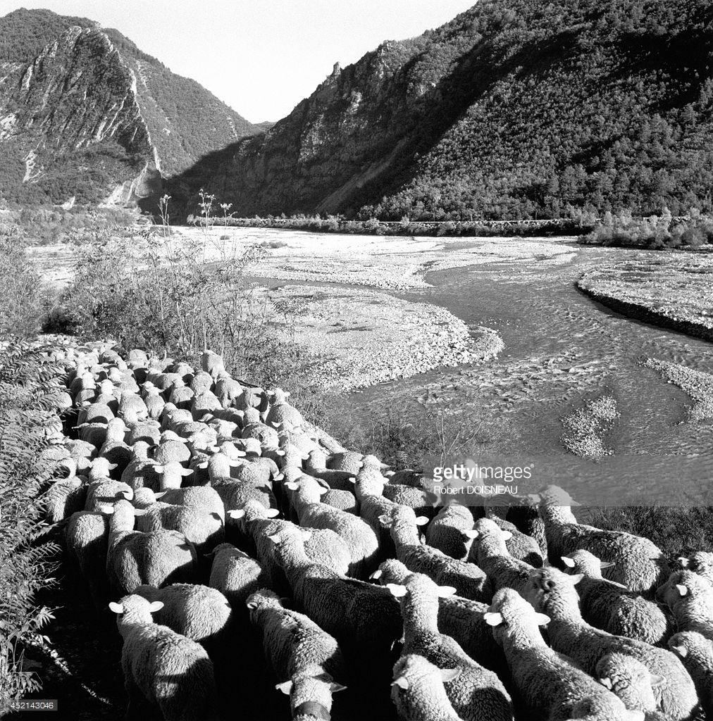 1958. Стадо овец во время перегонки на берегах реки Вар и в ущельях Далюи