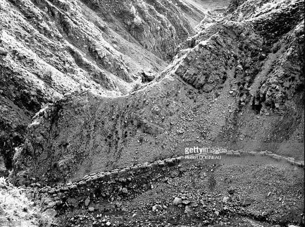 1958. Стадо овец во время перегонки на очень узкой горной тропе