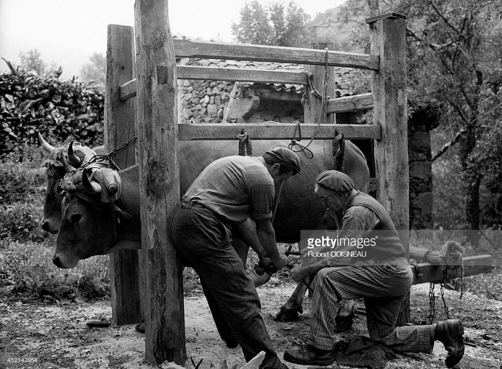 1971. Чистка вола филиппинской породы в Лангеаке. Август