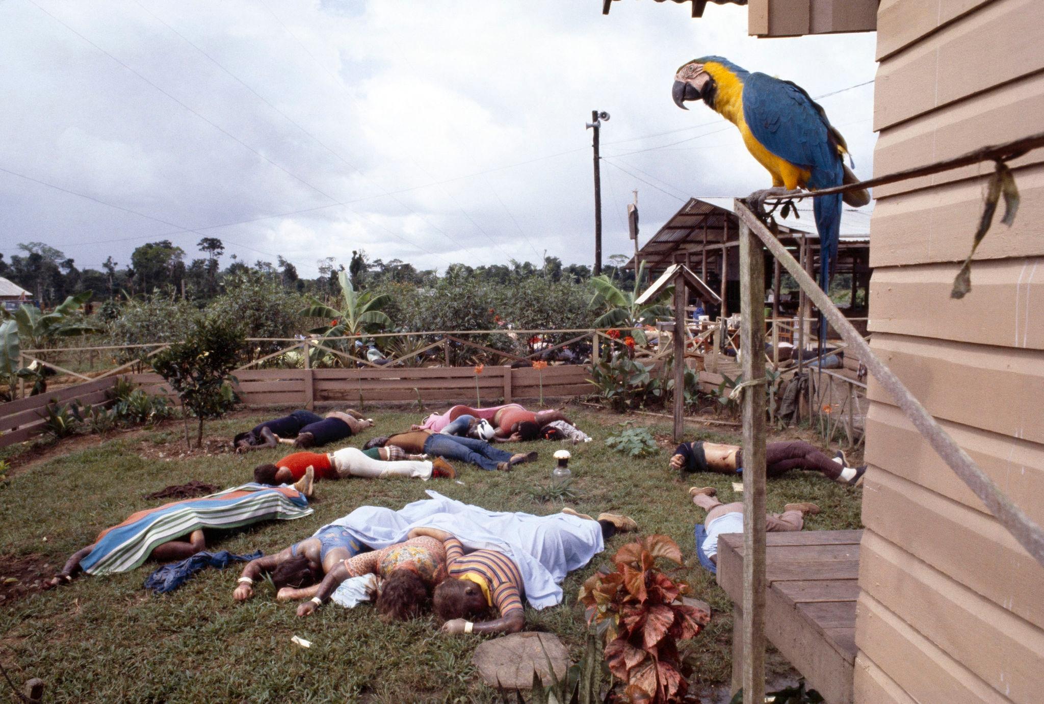 1978. Попугай, один из немногих выживших в Джонстауне, смотрит на мертвые тела на территории комплекса культа Народного храма 18 ноября 1978 года в Д…