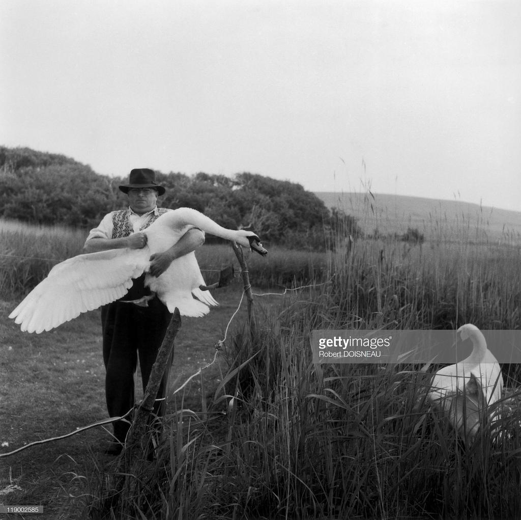 1961. Мужчина держит лебедя на руках. Питомник лебедей в  Аботсбери