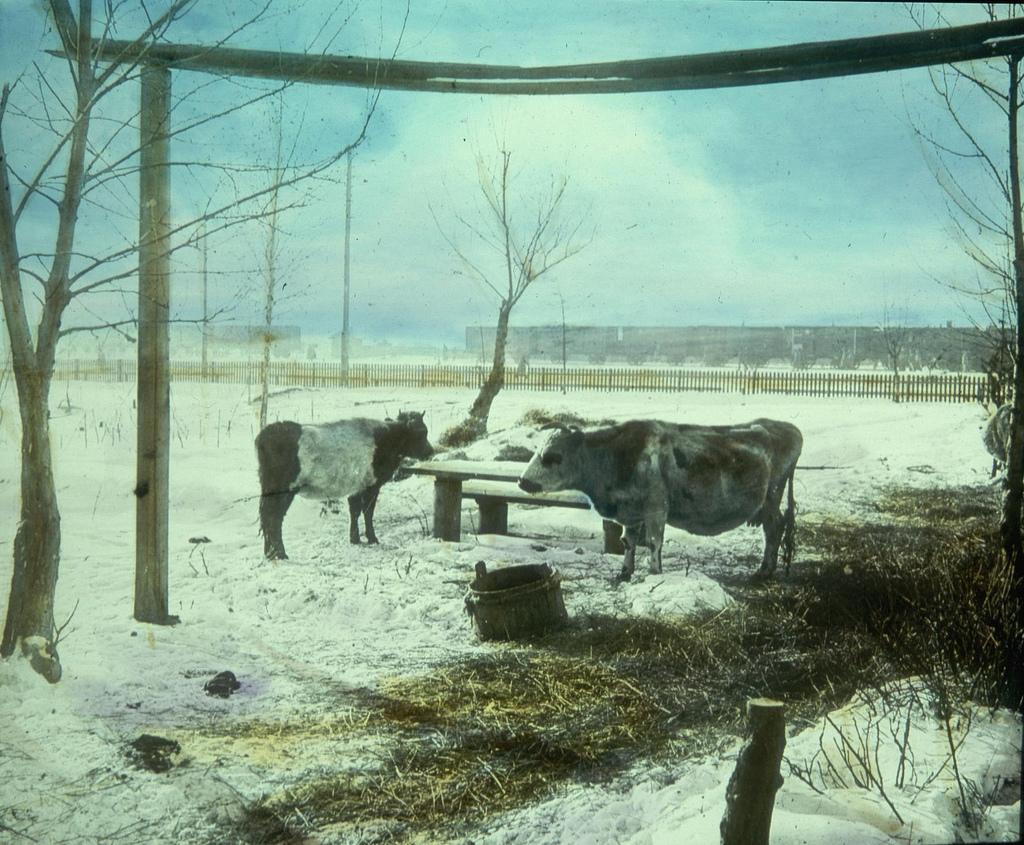 Две коровы возле железнодорожной станции едят из кормушки