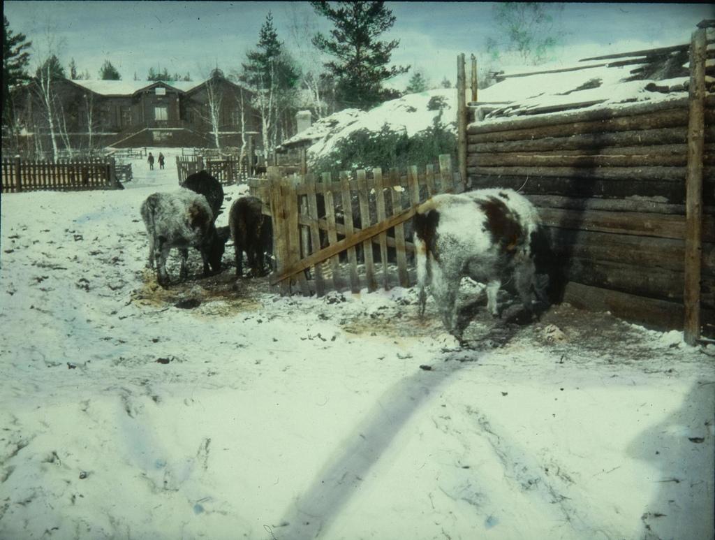 Коровы пасутся на заснеженной земле возле коровника
