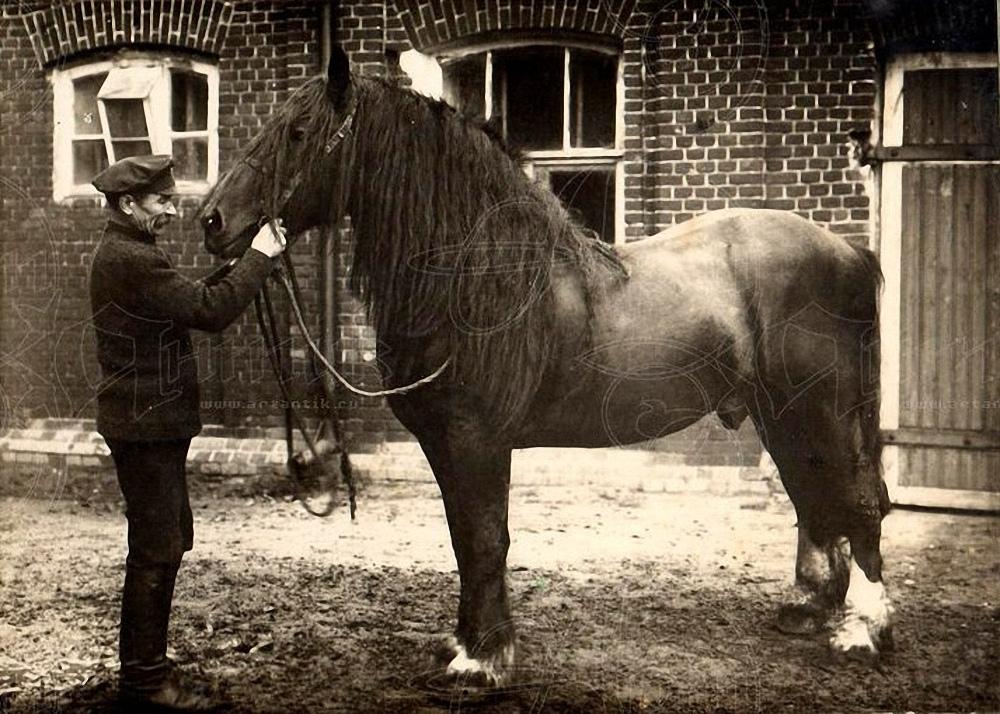 1910-е. Конюх с бельгийским тяжеловозом.Тамбовская Губерния. Местный улучшенный брабансоном
