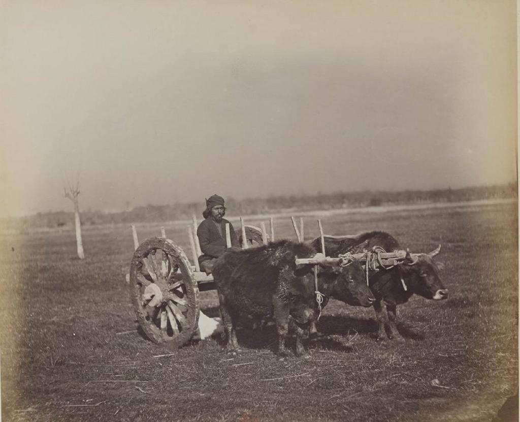 Гуриец на телеге, запряженной волами
