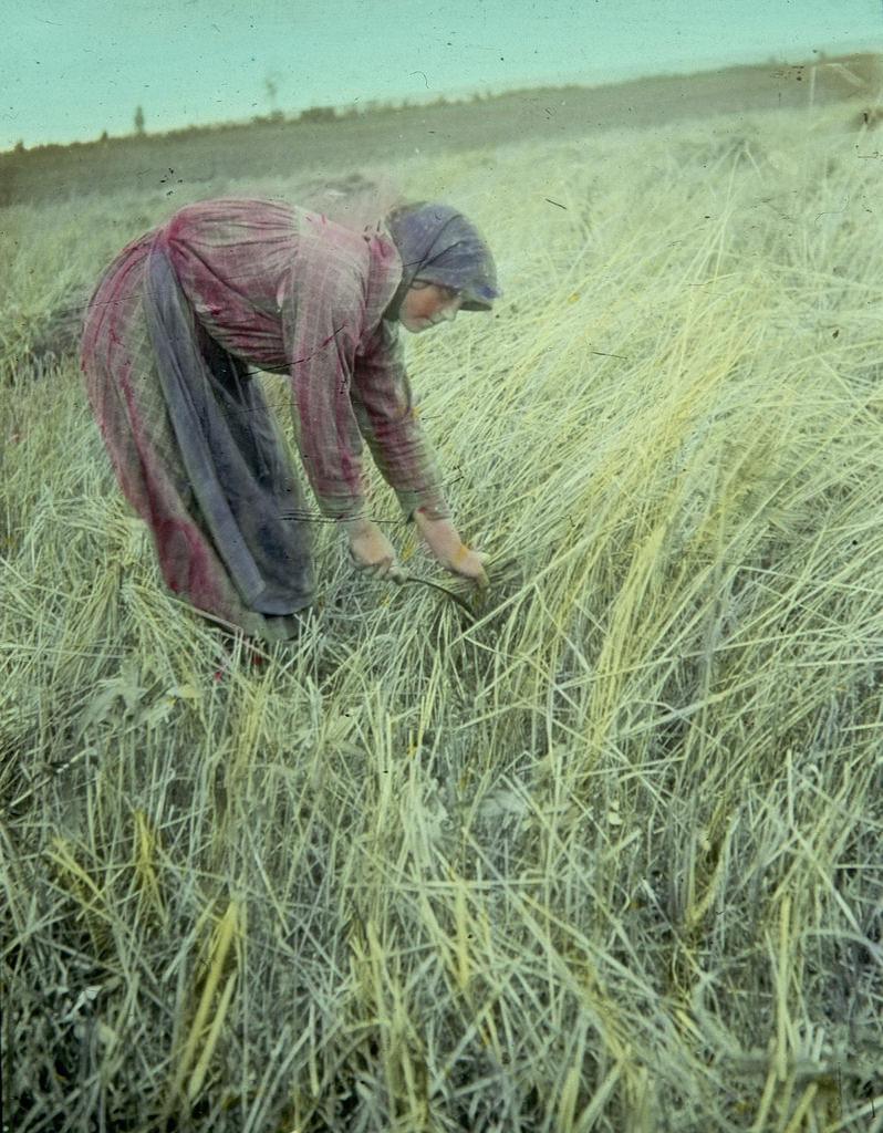 Крестьянка срезает пшеницу серпом