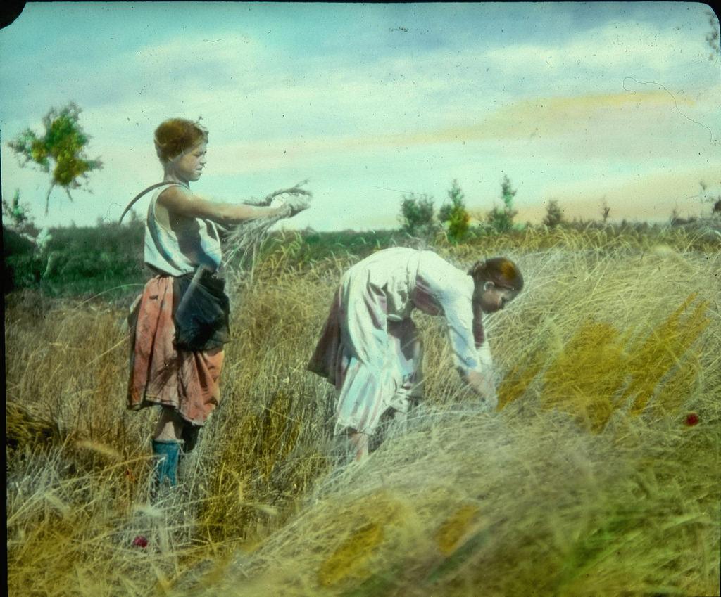 Крестьянские дети убирают пшеницу
