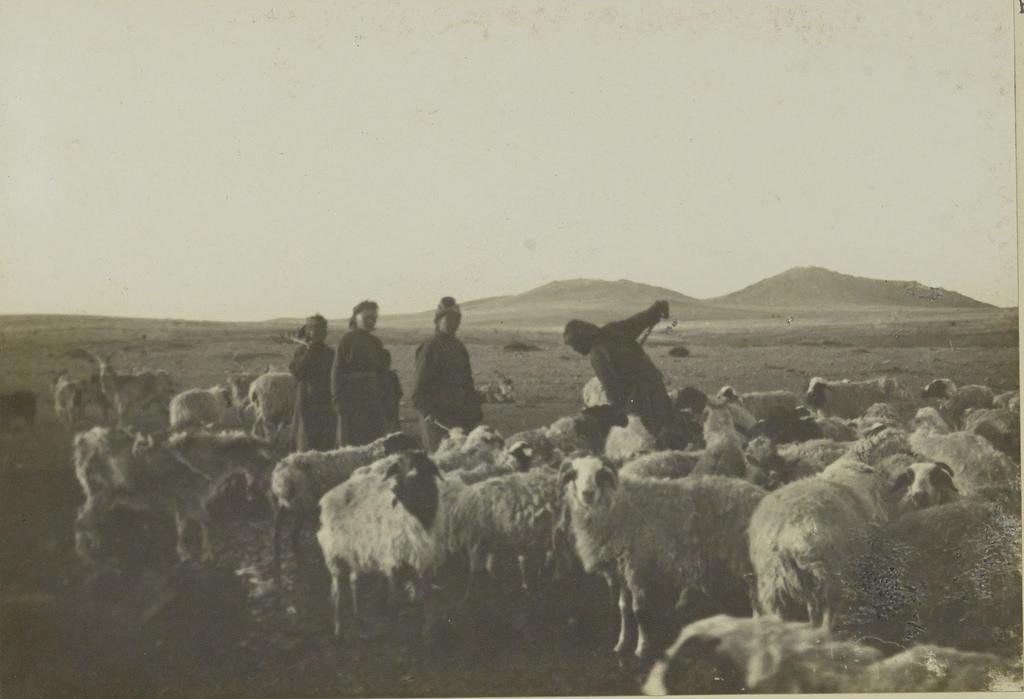 16. Овцы во время поения