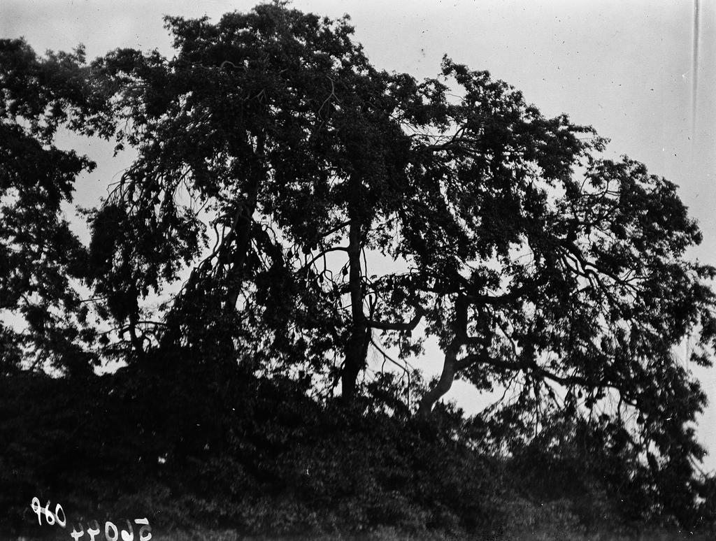 Открестности Катамбы. Деревья в качестве спального места для фруктовых летучих мышей