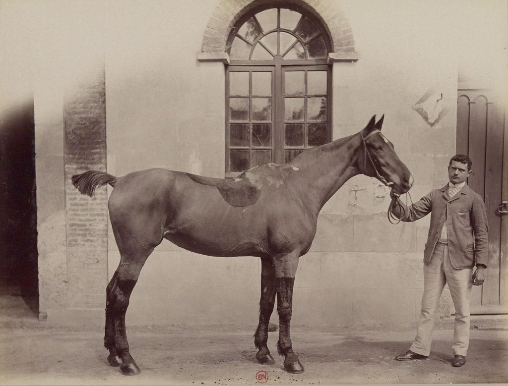 Лошадь из Норфолка