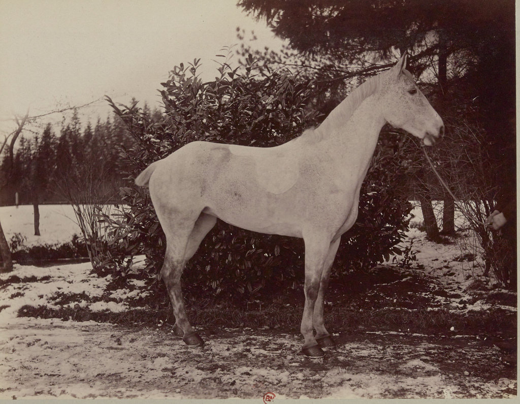 Нормандская кобыла