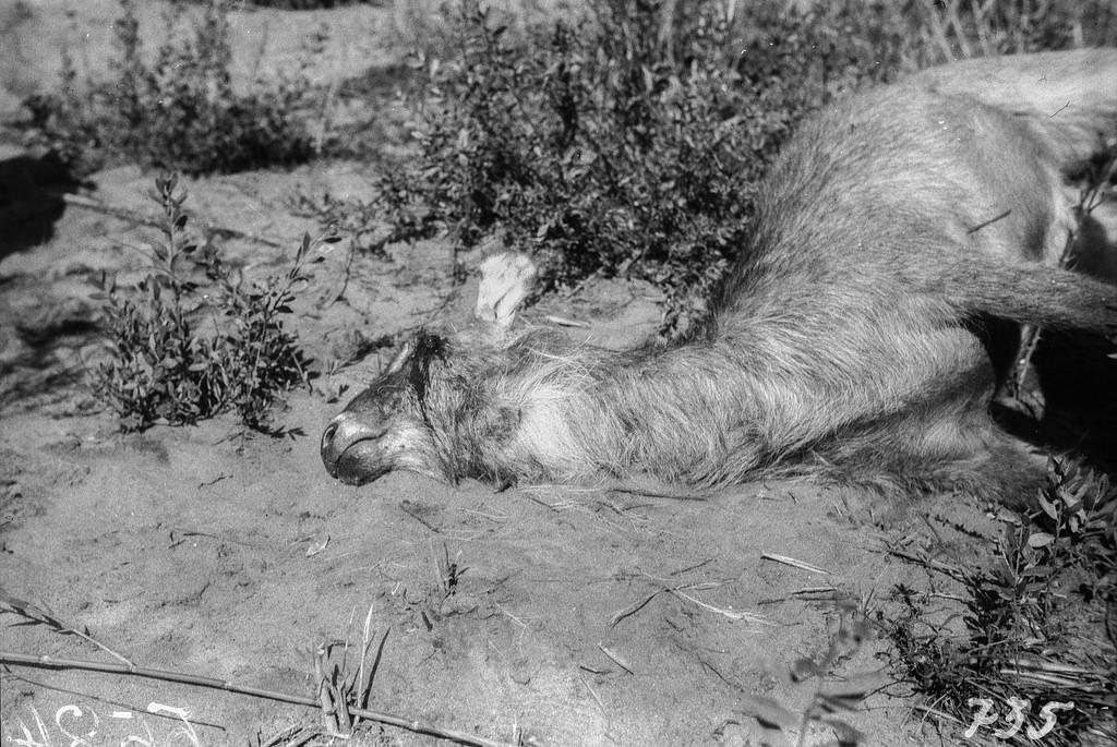 Окрестности Претории. Подстреленная антилопа