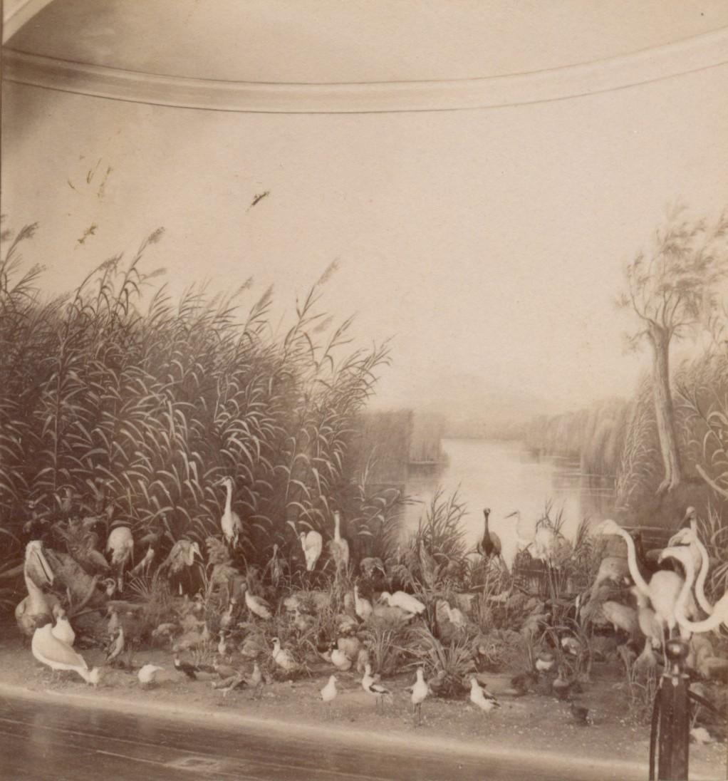 Музей. Ленкоранские птицы