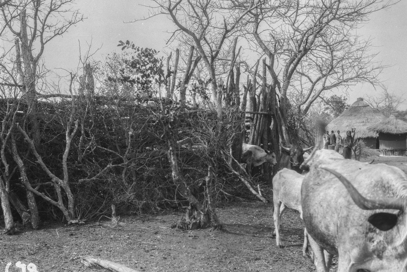 Национальный парк Крюгера. Деревенский скот