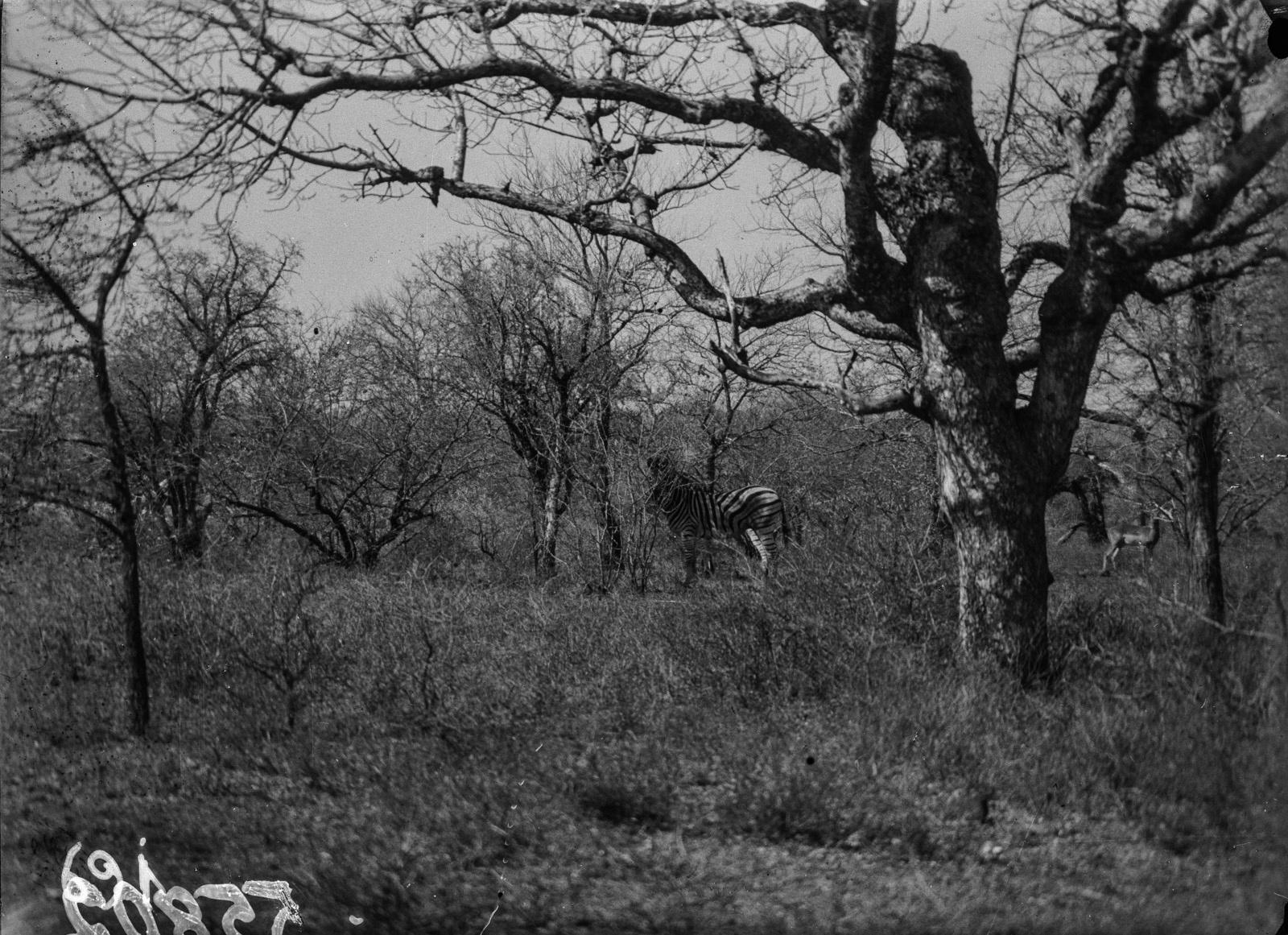 Национальный парк Крюгера. Зебра в саванне