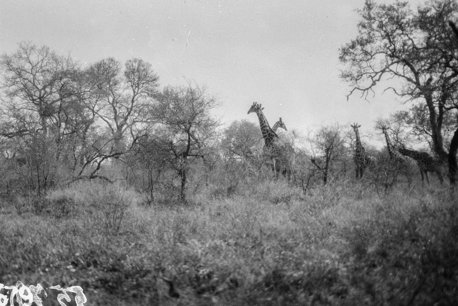 Национальный парк Крюгера. Стадо жирафов в ландшафте саванны
