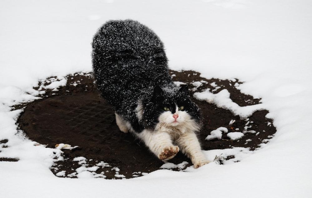 кот на снегу...
