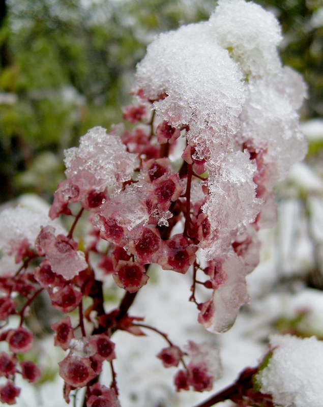 смородина в снегу...