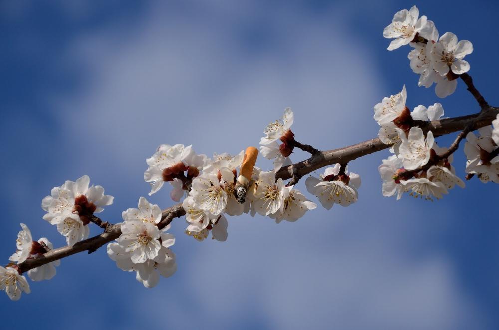 окурок на абрикосе