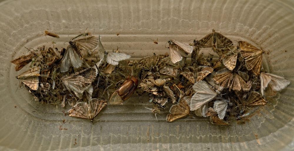 жуки-бабочки