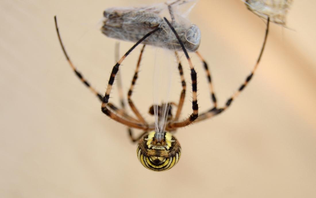 жопка паука