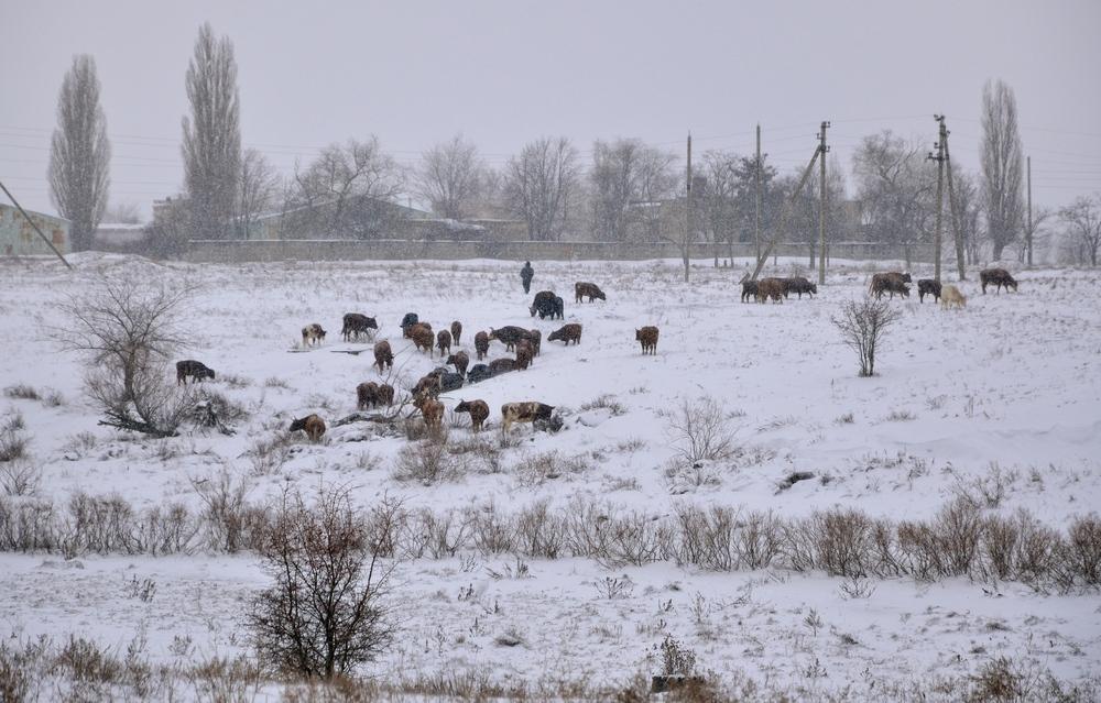 коровы снег