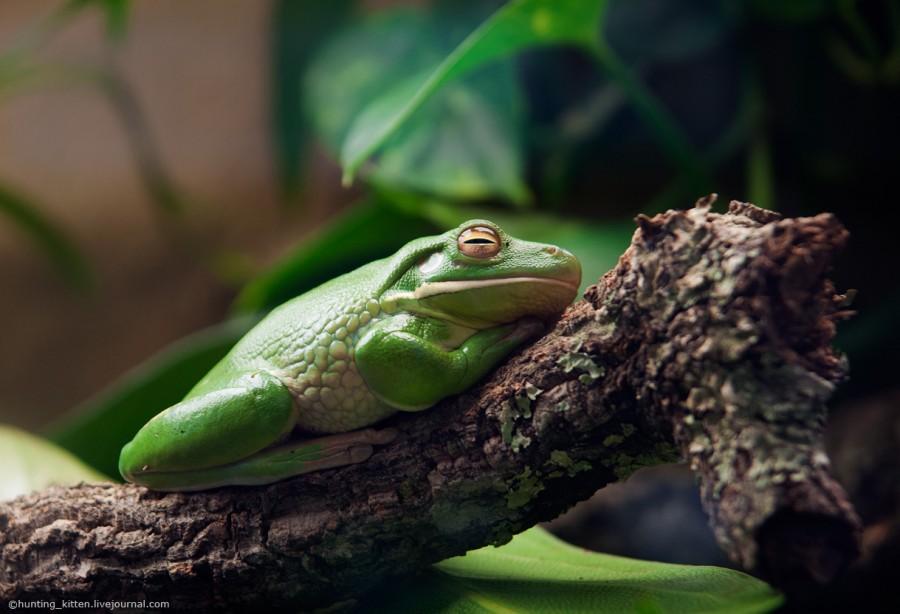 Tsarevna-frog