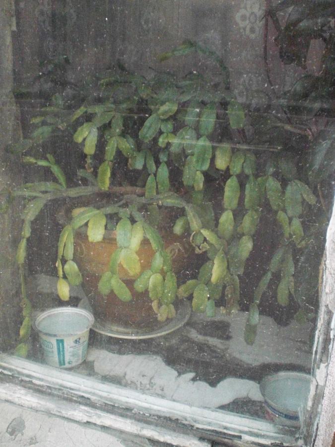 langai jasinnskio gatveje (6)_kaledinuke ir grietine