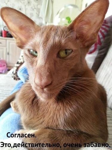 amusing_oriental_cat