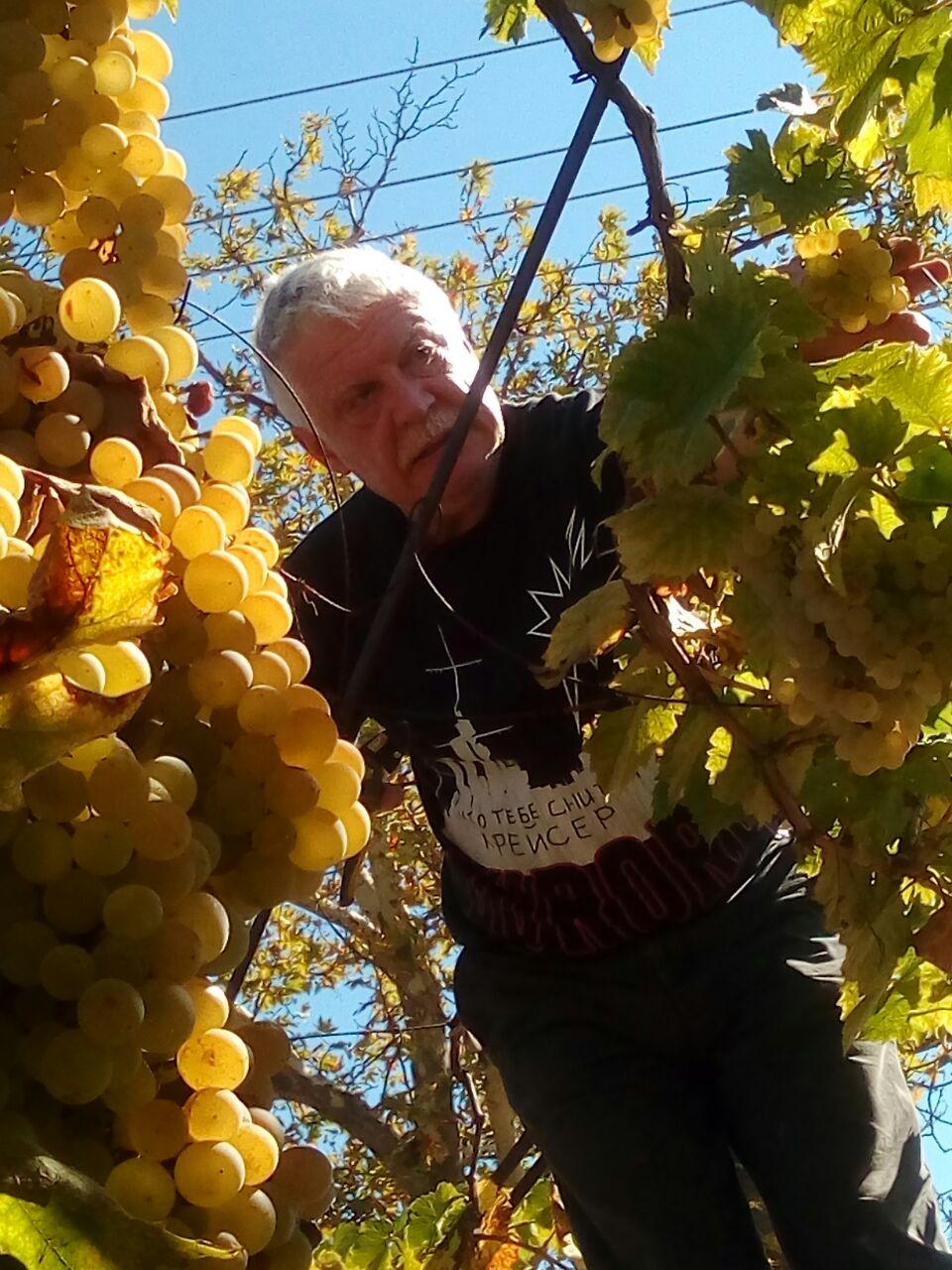 сбор винограда.JPEG
