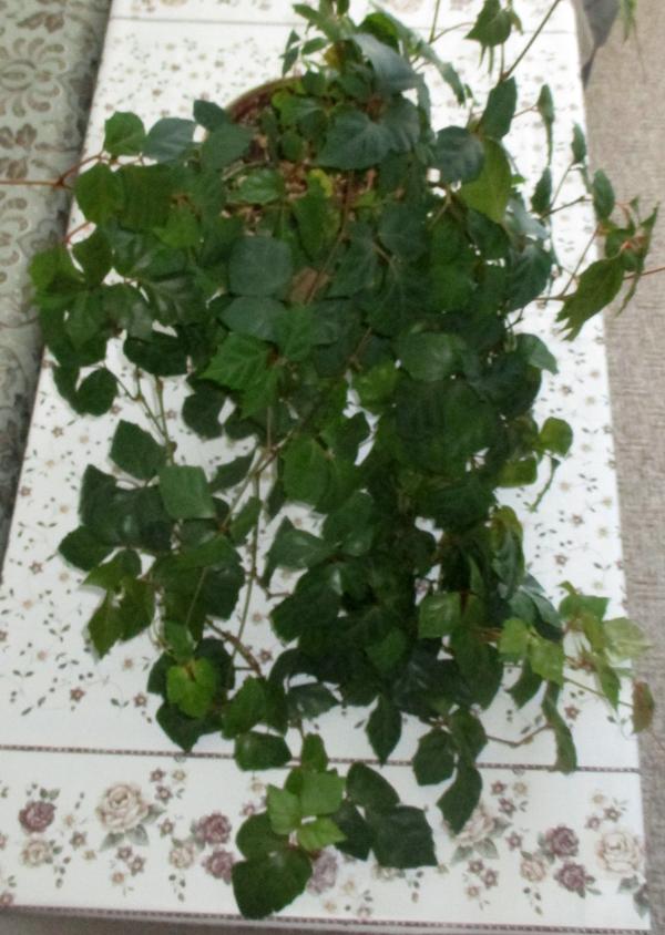 Отдам комнатное растение (Москва, Тимирязевская)