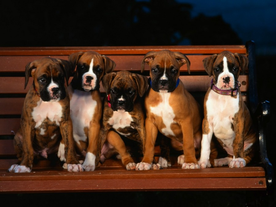 Boxer_dog_puppies_wallpaper
