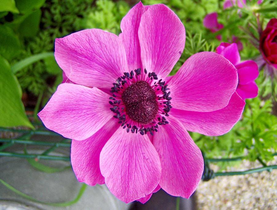 anemone_002