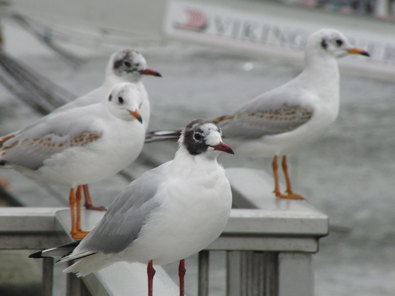 4 чайки