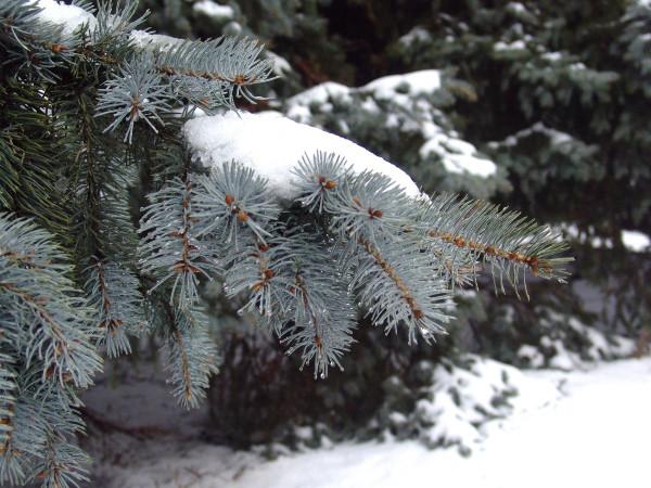 Ветка-голубой-елки-в-снегу-1235476602_91