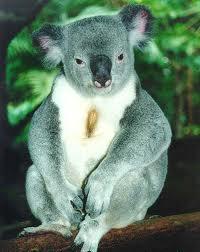 портрет коалы