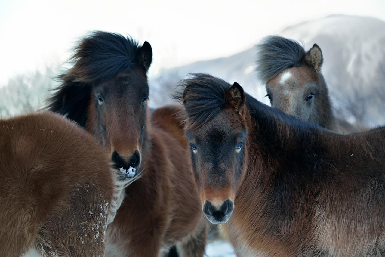 ICELANDIC HORSES_7181_20131229_20429