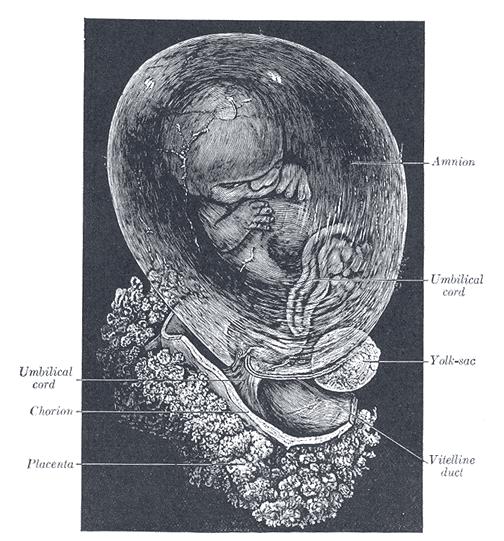 Человеческий зародыш в амнионе